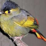 himalaya-vogel