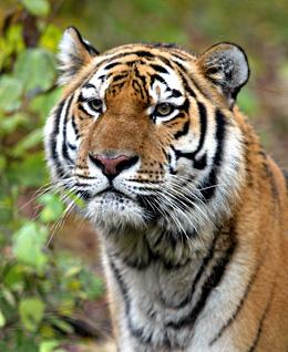Sibrischer Tiger © Viktor Filonov / WWF